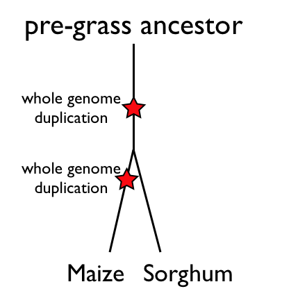 Maize-sorghum-genome-history.png